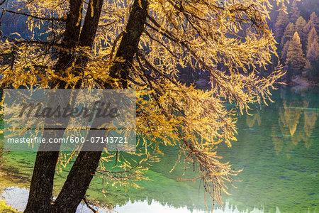 Larch Trees in Autumn Foliage at Lai da Palpuogna, Canton of Graubunden, Switzerland