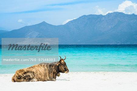 Wild cow lying on the beach, Loto Beach, Agriates Desert, Corsica, France