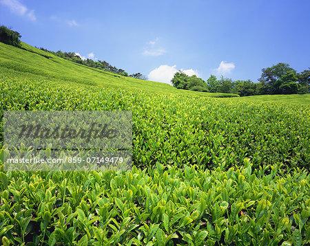 Tea Field, Wazuka, Kyoto, Japan