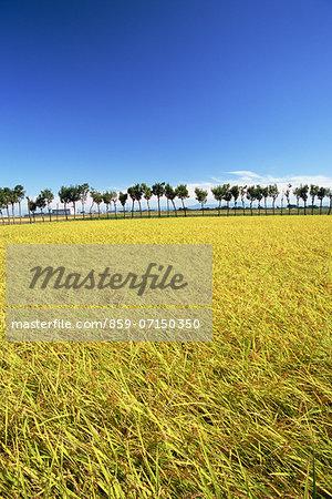 Rice Field, Niigata, Japan