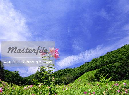 Lilium Rubellum, Takashimizu Natural Park, Fukushima, Japan