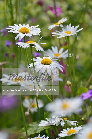 Close-up of daisies in flowering meadow in summer, Bavaria, Germany
