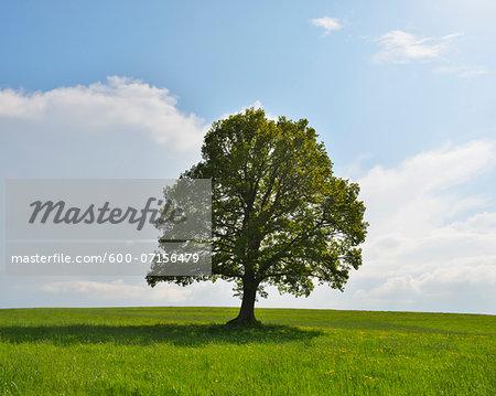 Oak Tree in field in Spring, Grebenhain, Hesse, Germany