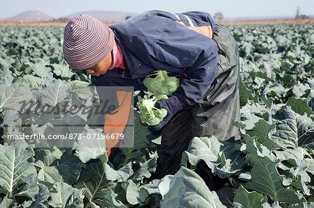 Farm worker picking cauliflower