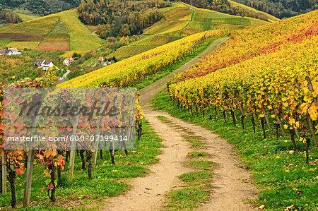 Vineyard Landscape, Ortenau, Baden Wine Route, Baden-Wurttemberg, Germany
