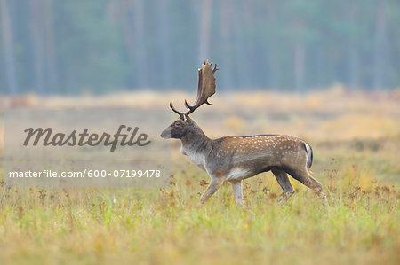 Portrait of Male Fallow Deer (Cervus dama) in Autumn, Hesse, Germany