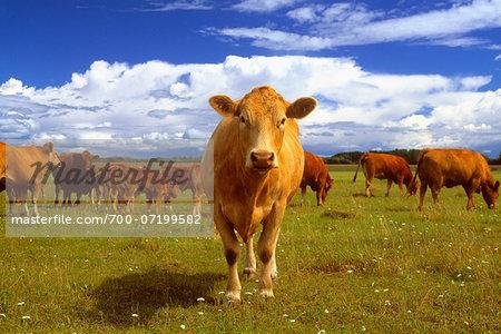 Portrait of a Cow Peace River, Alberta, Canada