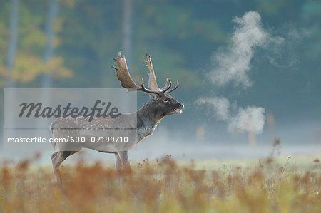 Bellowing Male Fallow Deer (Cervus dama) in Autumn, Hesse, Germany