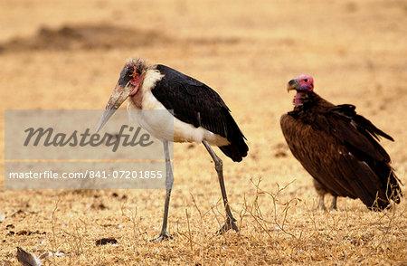 Marabou stork, Grumet, Tanzania, East Africa