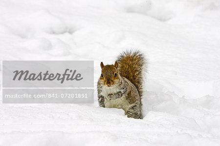 Grey squirrel in snow on Hampstead Heath, North London, United Kingdom