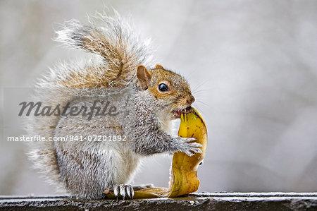 Grey squirrel eats banana skin from rubbish bin in Hampstead Heath, London, United Kingdom