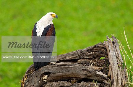 African Fish-Eagle, Grumeti, Tanzania, East Africa