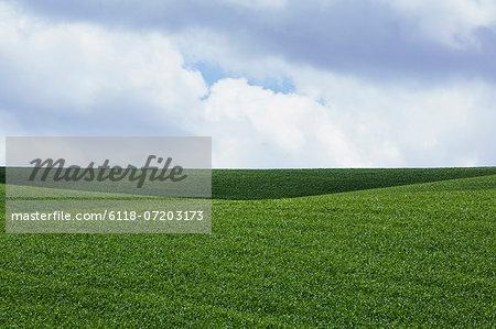 A field of lush green wheat crop growing.