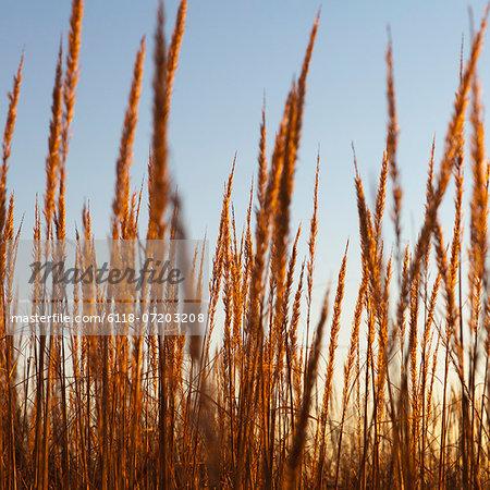 View close up of dense sea grasses on the shore at Long Beach Peninsula, near Oysterville, Washington.