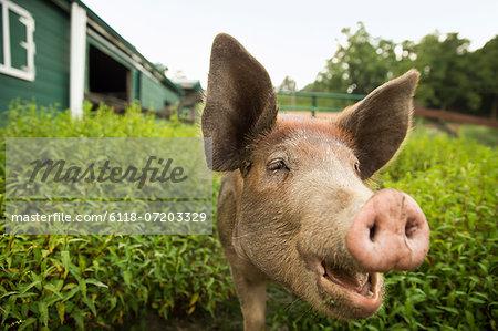 An organic farm in the Catskills. A pig.
