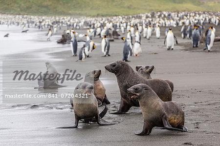 Antarctic fur seal (Arctocephalus gazella) pups, Gold Harbour, South Georgia, South Atlantic Ocean, Polar Regions