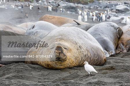 Southern elephant seals (Mirounga leonina), annual catastrophic molt, Gold Harbour, South Georgia, South Atlantic Ocean, Polar Regions