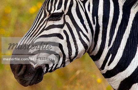 Common Plains Zebra (Grant's), Ngorongoro Crater, Tanzania