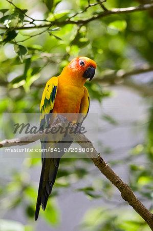 Sun Conure parrot perched on a branch, Queensland, Australia