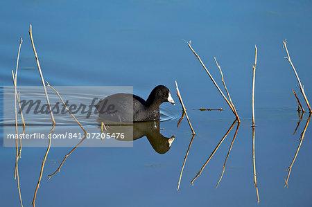 American coot (Fulica americana) swimming, Bosque del Apache National Wildlife Refuge, New Mexico, United States of America, North America