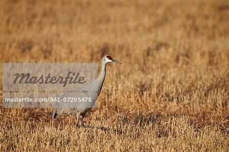 Sandhill crane (Grus canadensis), Bosque del Apache National Wildlife Refuge, New Mexico, United States of America, North America