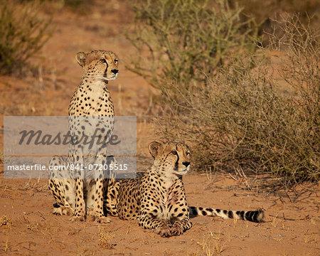 Cheetah (Acinonyx jubatus) siblings, Kgalagadi Transfrontier Park, encompassing the former Kalahari Gemsbok National Park, South Africa, Africa