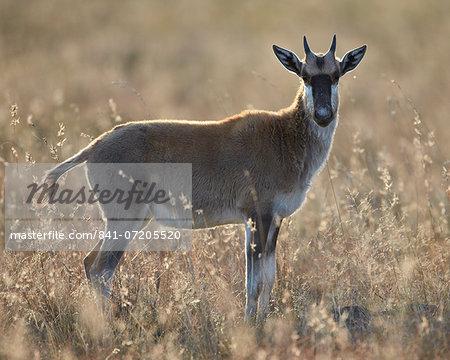 Juvenile blesbok (Damaliscus pygargus phillipsi), Mountain Zebra National Park, South Africa, Africa