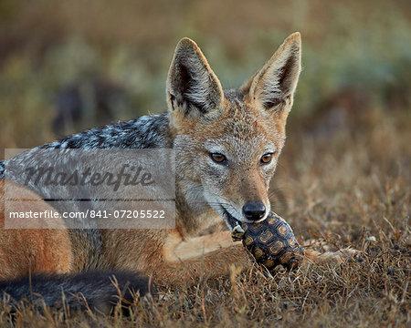 Black-backed jackal (silver-backed jackal) (Canis mesomelas) eating a small Leopard tortoise (Geochelone pardalis), Addo Elephant National Park, South Africa, Africa