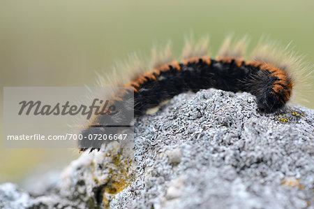 Close-up of Fox Moth (Macrothylacia rubi) Caterpillar on Stone in Autumn, Bavaria, Germany