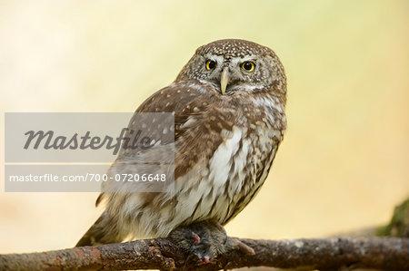 Close-up of Eurasian Pygmy Owl (Glaucidium passerinum) in Autumn, Bavarian Forest National Park, Bavaria, Germany