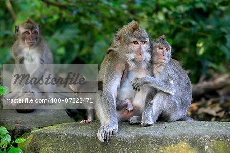 Family of monkeys. Bali a zoo. Indonesia