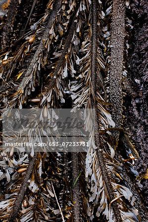 A heap of kelp