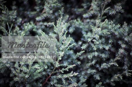 Close-up of coniferous tree, Shanxi Province, China