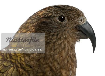 Kea - Nestor notabilis, is a parrot