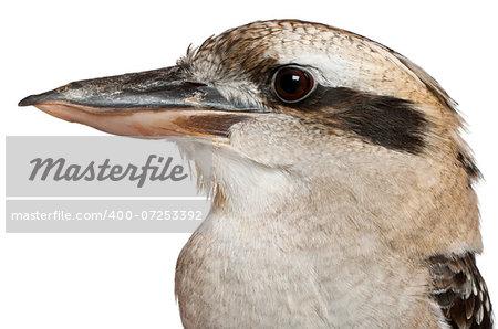 Laughing Kookaburra (Dacelo novaeguineae) is a carnivorous bird in the kingfisher, Kookaburra est aussi un mot clé