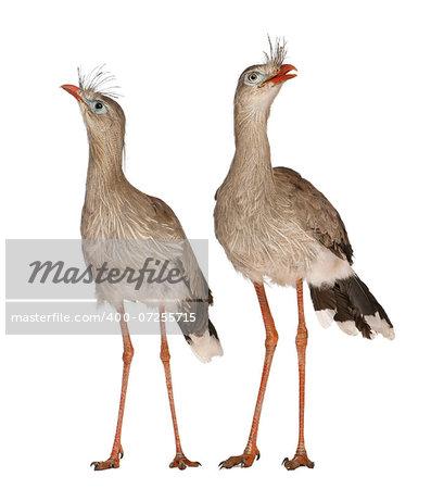 male and female Red-legged Seriema or Crested Cariama (Cariama cristata)