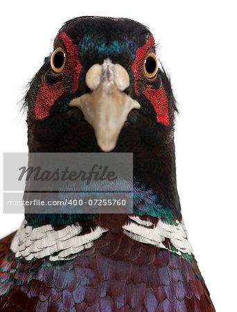 Close up of Male European Common Pheasant, Phasianus colchicus