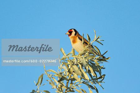 European Goldfinch (Carduelis carduelis) in Spring, Illmitz, Lake Neusiedl, Burgenland, Austria