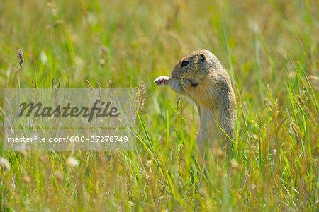 European Ground Squirrel (Spermophilus citellus) in Meadow, Apetlon, Lake Neusiedl, Burgenland, Austria