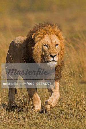 Male Lion (Panthera leo) Stalking, Masai Mara National Reserve, Kenya