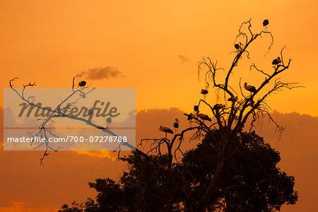 White Storks in Tree at Sunset, Masai Mara National Reserve, Kenya