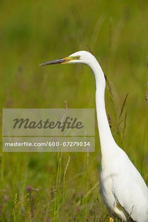 Great Egret (Ardea alba) in Meadow in Spring, Apetlon, Lake Neusiedl, Burgenland, Austria