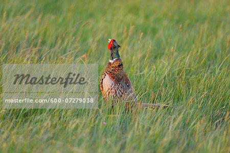 Male Ring-necked Pheasant (Phasianus colchicus) in Meadow, Tadten, Hansag, Burgenland, Austria