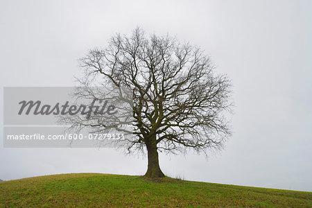 Bare Oak Tree on Hill, Odenwald, Hesse, Germany