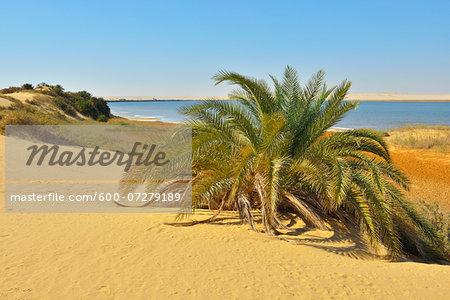 Salt Lake and Date Palm in Desert, Matruh Governorate, Libyan Desert, Sahara Desert, Egypt, Africa