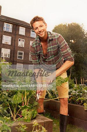 Mid adult man harvesting salad leaf on council estate allotment