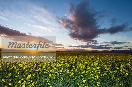 Canola fields at dusk, Bredasdorp, South Africa