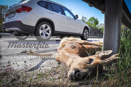 Dead deer on side of road, close-up