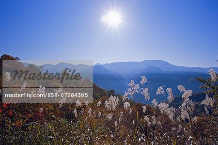 Japanese Pampas Grass, Nagano, Japan