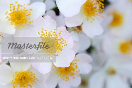 Francis E Lester Roses, Meran, South Tyrol, Trentino-Alto Adige, Italy